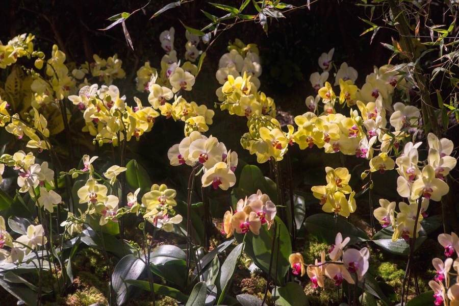 The Orchid Show, Brittany Petronella, NYBG