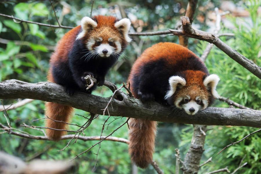 Prospect Park Zoo, pandas vermelhos