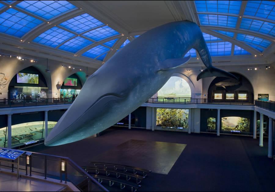 AMNH, mammals, whale