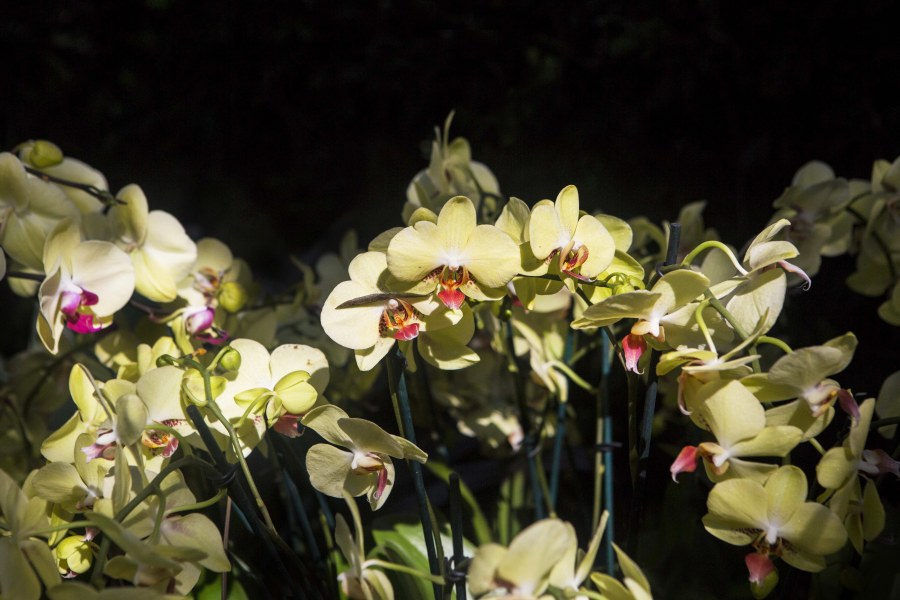 Orchid Show, NYBG, Bronx, Flowers, NYC, Brittany Petronella