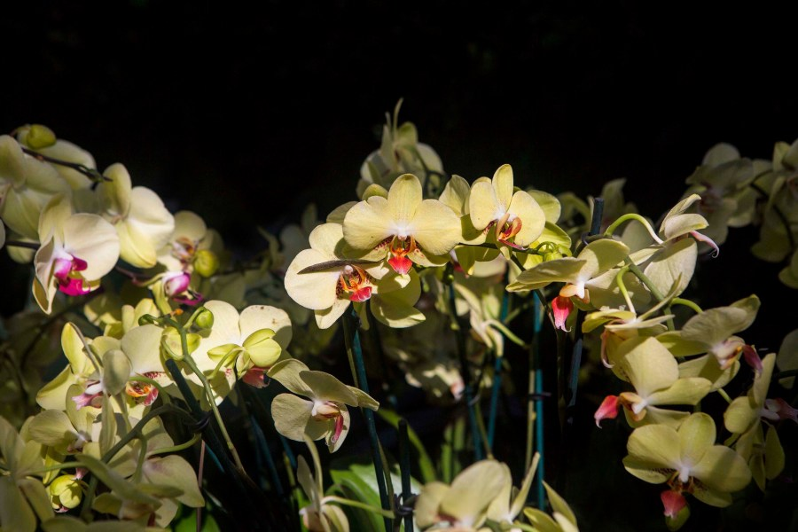 Orchid Snow, NYC Flower Show, Flower Show, Orchids, New York Spring, Spring, Spring Flowers