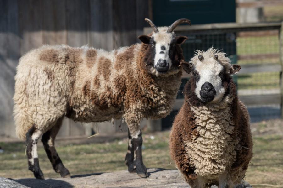 Queens Zoo, Sheep