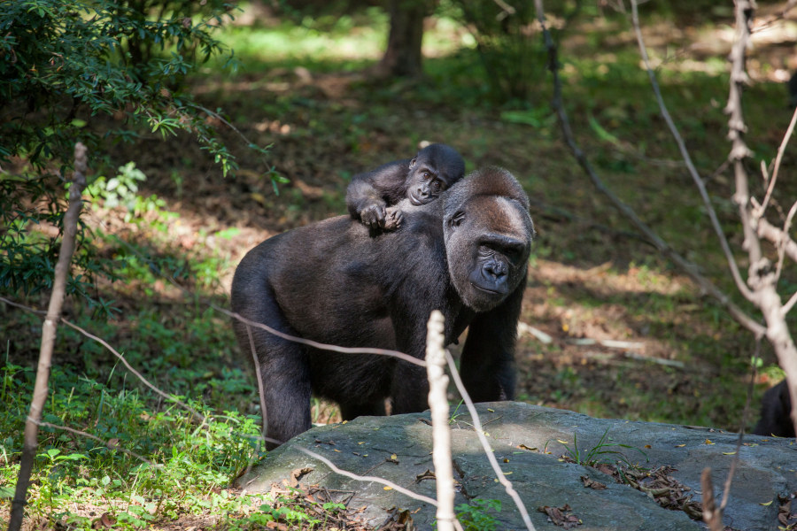Congo Gorilla Forest.